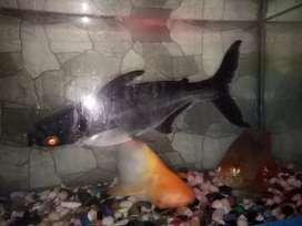 Sell fish Aqurium