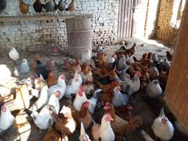 Desi and Misri Poultry