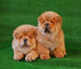 Outclass Chow chow pup
