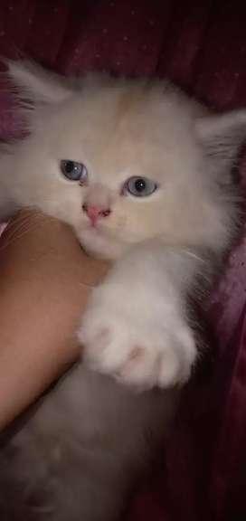 Kucing persia flatnose buat temen baru di rumah, harga nego '-'