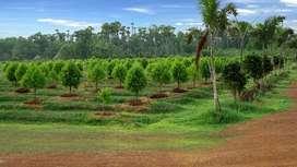 SANDLE WOOD PLANTATION IN BHOGAPURAM NEAR BY FULLEY DEOVELOPED AREA