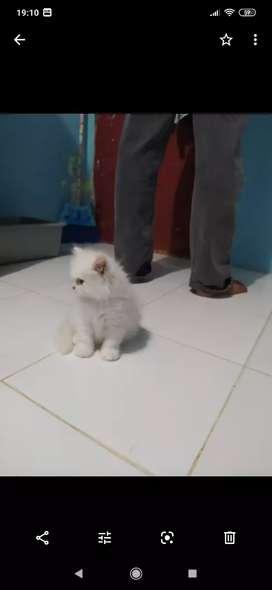 Jual Kucing Persia Medium