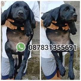 Labrador retriever pure superrr bigbone