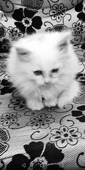 2 months purssion white cate for sale