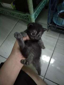 Kucing Black Panther