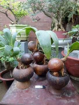 Bonsai bahan kelapa