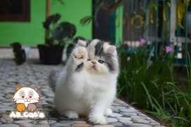 Kucing Persia Peaknose Longhair Betina