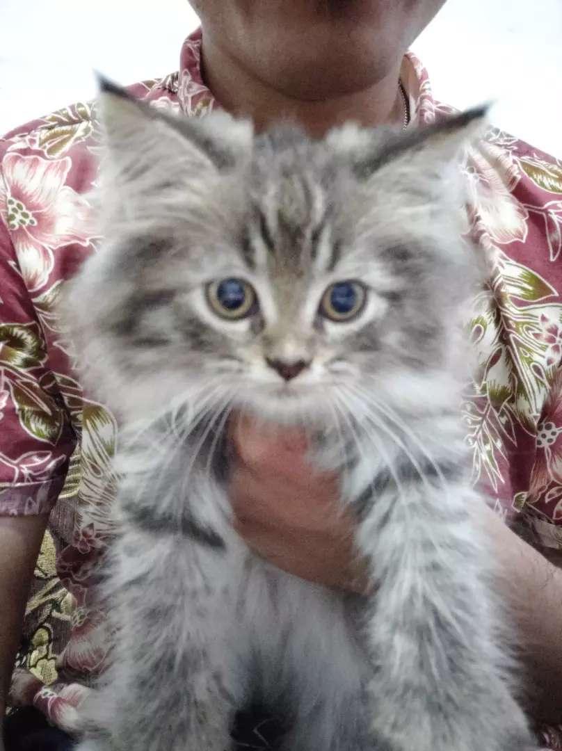 Anakan Kucing persia umur 3 bln @700 Rb 0