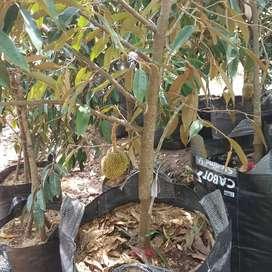 Bibit durian berbuah