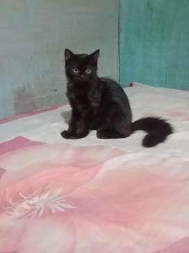 Kucing jantan black solid