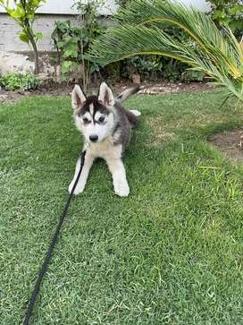 Syberian Husky puppy for Sale