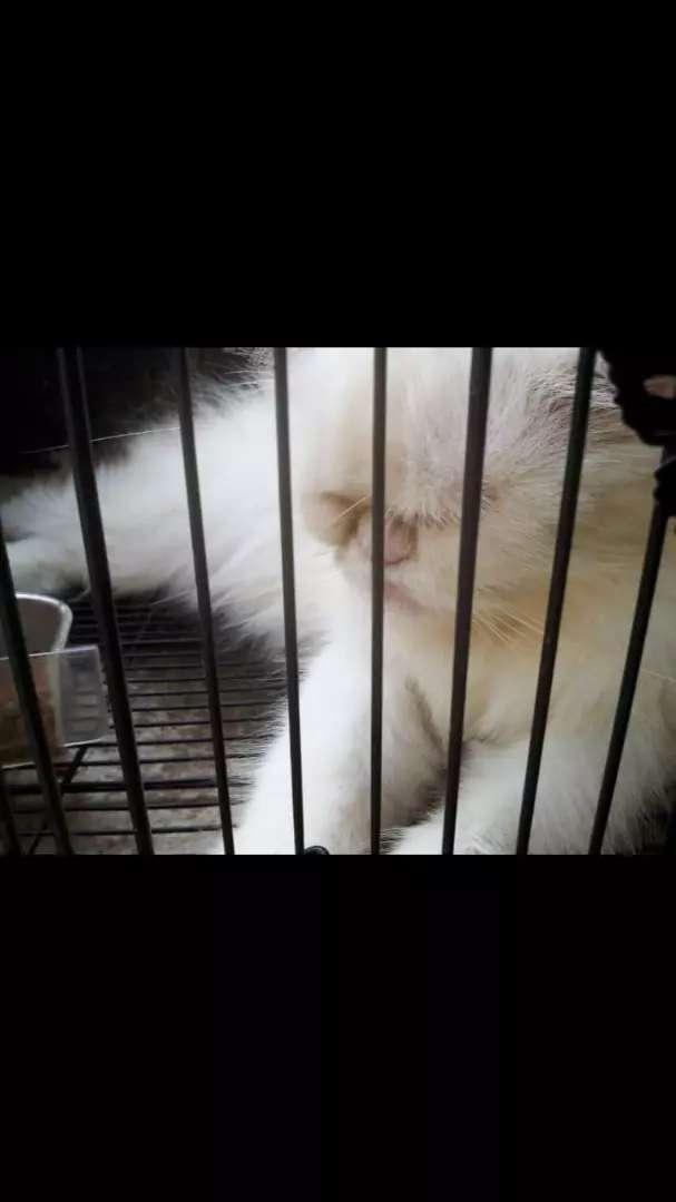 Oper adoption kucing persia flat nose 0