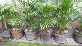 Bunga pinang kelapa Kuning