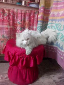White cat female