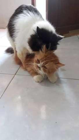 jasa pacak .kasih kucing