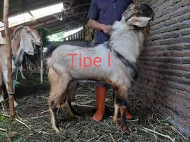 Jual Hewan Qurban Sapi Kambing Domba Murah Di Yogyakarta