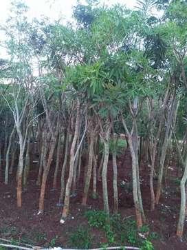 Jual siap kirim pohon tabebuya bunga kuning