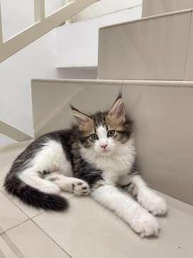Jual Kitten Mainecoon anakan Maine coon impor - Betina Ped CFA