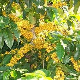 Sewa tanah kebun kopi lahan buat hoby ternak sehektar