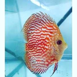 Ikan Hias Discus Piegeon