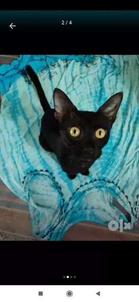 Nikusha 7 months  loving vaccinated cat.