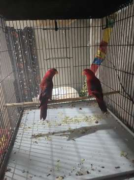 Red mallacand lorry breeder pair for sale