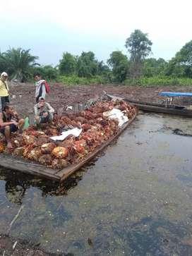 Take over pengelolaan kebun sawit 500 ha di kec Lahang Inhil