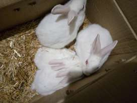 Rabbit baby New Zealand cross Red eye  for sale