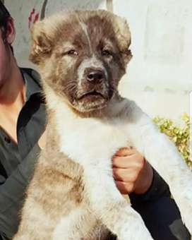 Alabai Dog mail Security dog 3 month for sale