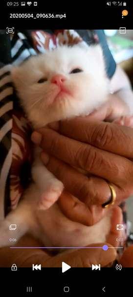 Pure White persian kittens Triple Coated
