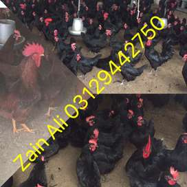 Rhode Island Red and Australorp will lay about the same number of eggs