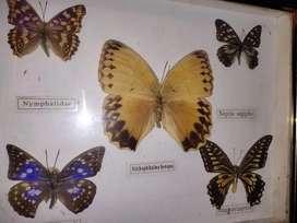 Rare collection of goodcharm butterflies
