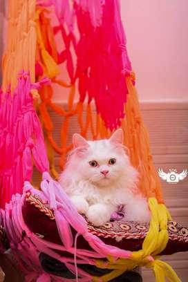 Persian kittens pure breed Siberian cats