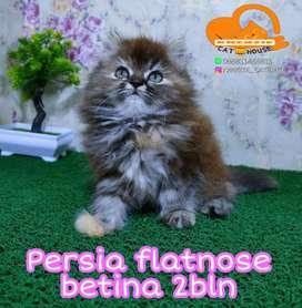 Kucing Persia flatnose
