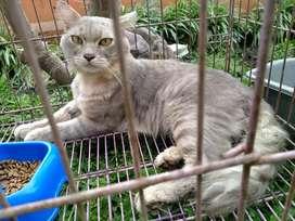 jual kucing persia jantan 11 bulan