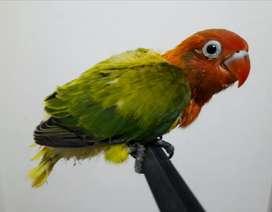 Lovebird Lolohan Biola Euwing Green