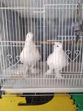 Burung merpati kriting putih