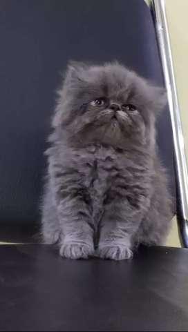 PERSIAN HIMALAYAN SIAMESE RAGDOLL SIBERIAN KITTENS AND CATS AVAILABLE