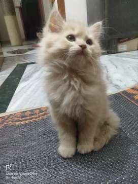Male Persian cat.