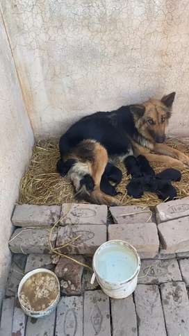 German shephard puppies pure. Just born place your order