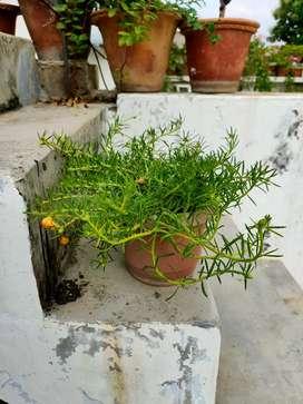 portulaca plant(nine o'clock)