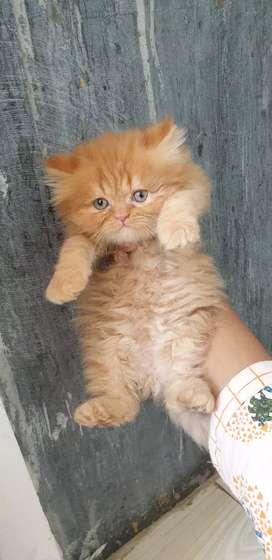 Semi punch Persian cat heavy bone kitten available