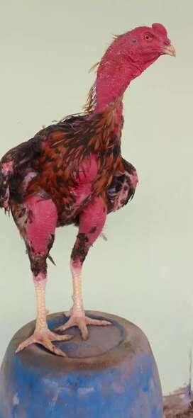 Ayam bangkok: Pacek Vietnam ori impor.