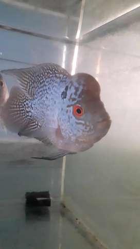 Ikan louhan cencu bonsai fm 2