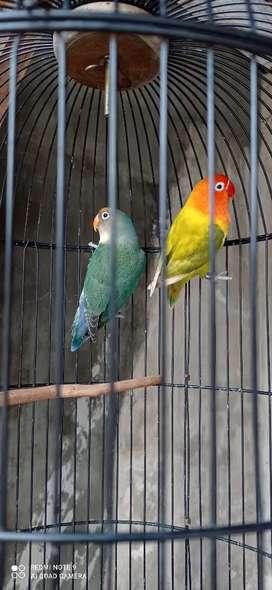 Burung lovebird sepasang
