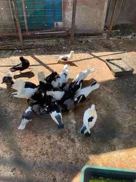 Burung merpati jinak