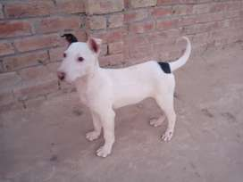 I have a bull terrier dog I want to sell