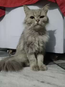 Gray Colour Persion Cat (Female) Tripple Coated