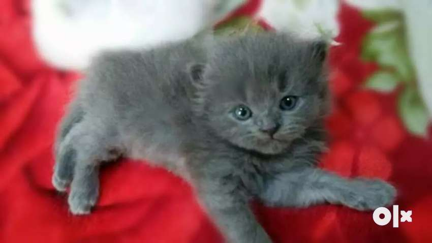 A1 quality cat kitten available 0