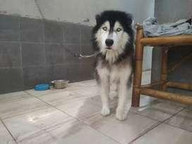 Husky longhair joss